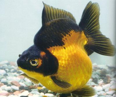 China Goldfish Show Ryukin
