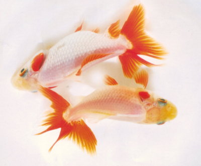 Common goldfish  Wikipedia